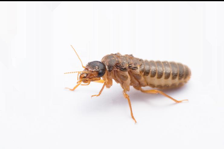 Tratamiento termitas 1