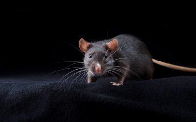 Plagas de ratones en casas y negocios
