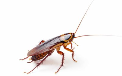 Características de la cucaracha alemana