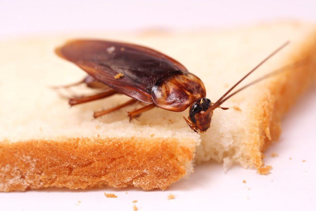 Características de la cucaracha alemana 1
