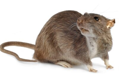 Características de la Rata Gris