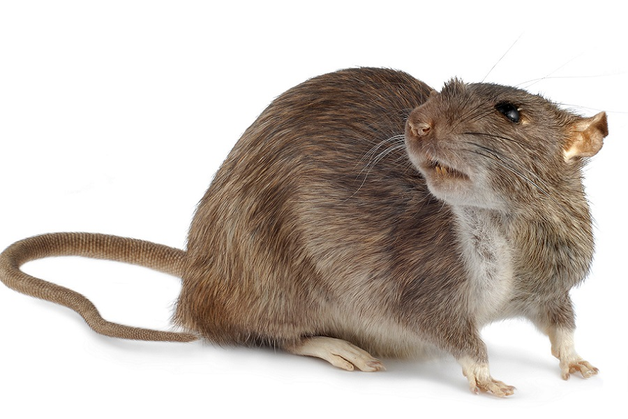 Características de la Rata Gris o de alcantarilla