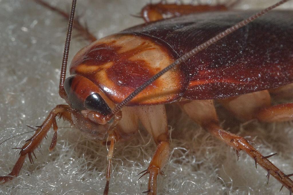 Cucaracha americana 1
