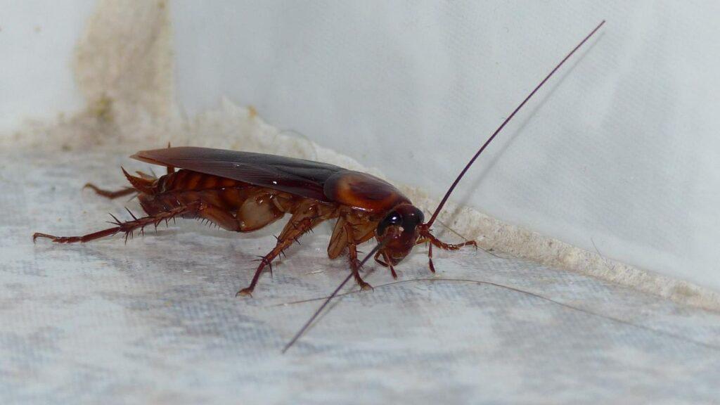 Cucaracha americana 2