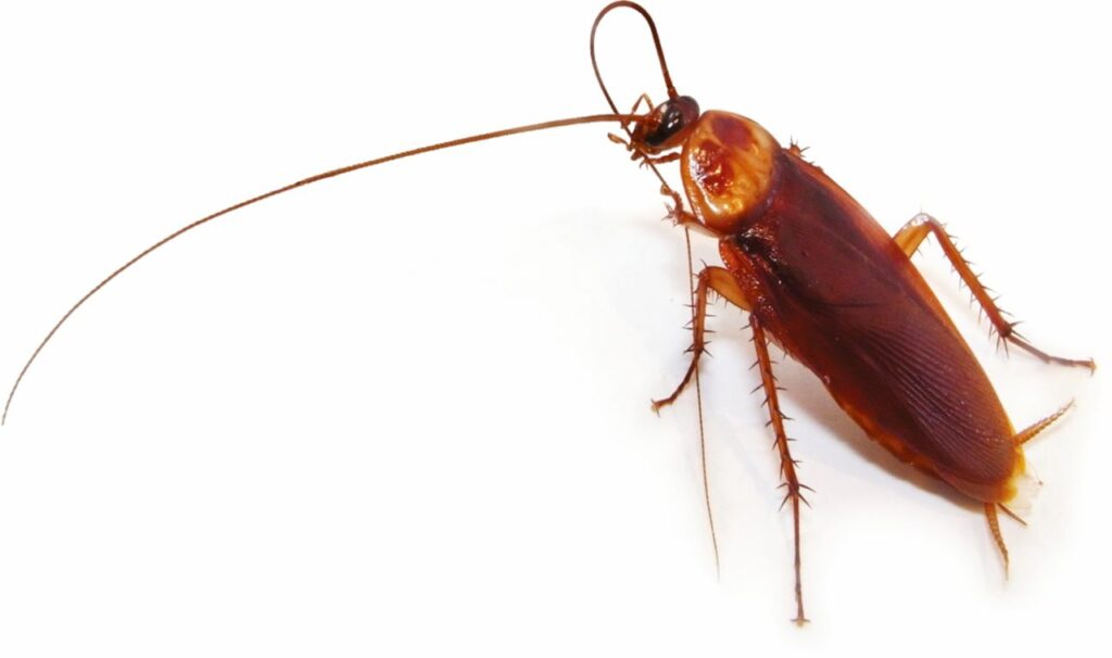 Cucaracha americana 3