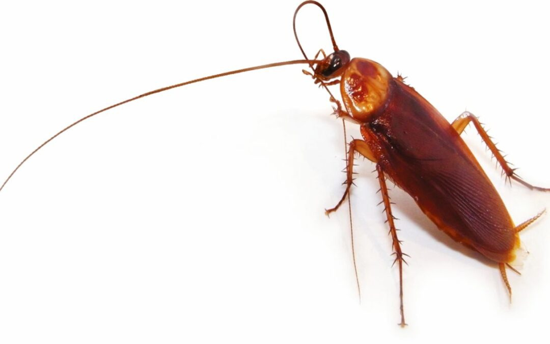 Plagas de cucaracha americana