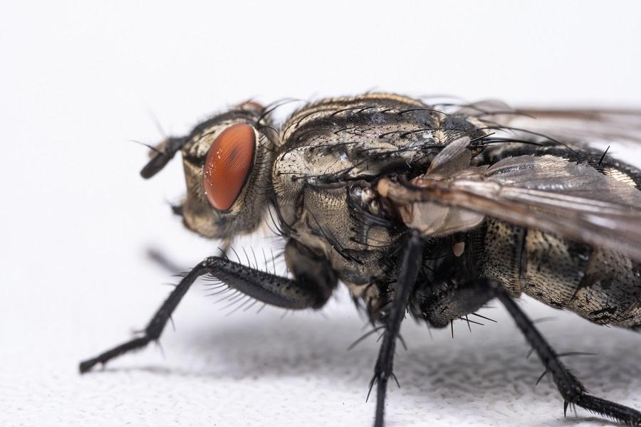La mosca negra amenaza a las grandes ciudades españolas