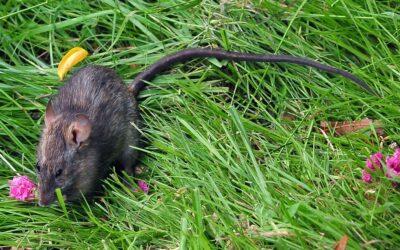 Control de plagas de rata negra