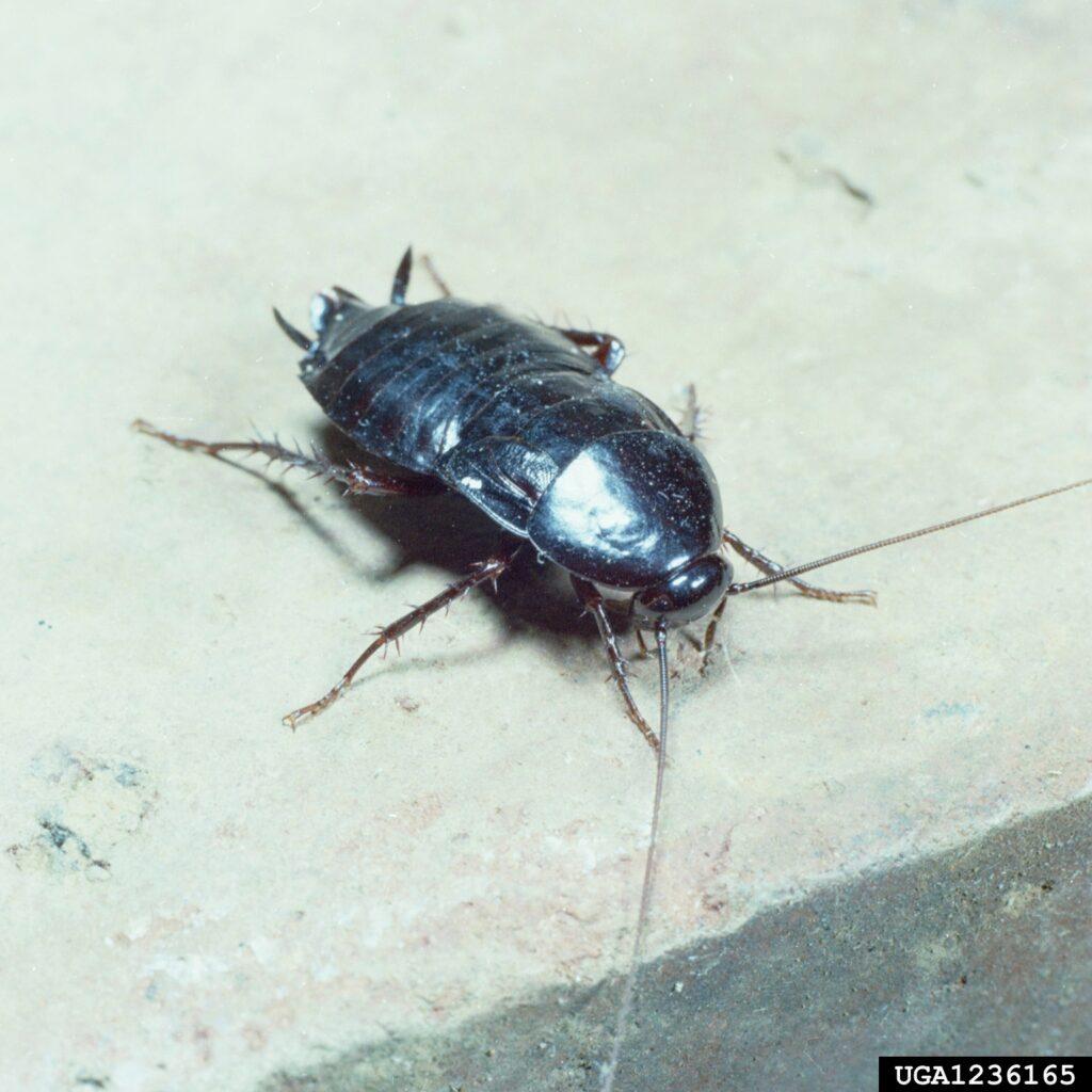 Características de la Cucaracha Negra 2