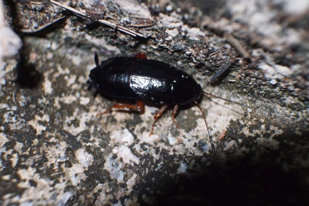 Características de la Cucaracha Negra 3