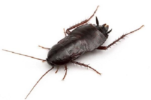 Características de la Cucaracha Negra