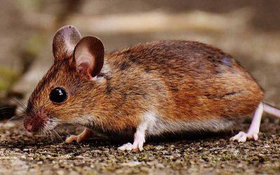 Plaga de ratones: cómo deshacerse de una
