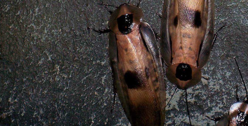 plagas-cucaracha
