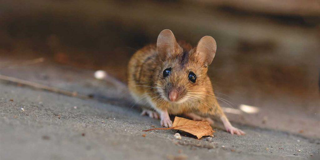 plagas-ratón